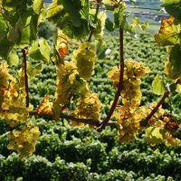 Badische Weinstrasse Kaiserstuhl Riesling Trauben