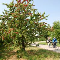 Mit Dem Fahrrad Unterwegs Kirschen Radweg