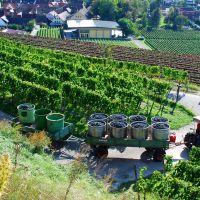 Weinfeste Im Herbst Kaiserstuhl Weinlese Bulldog