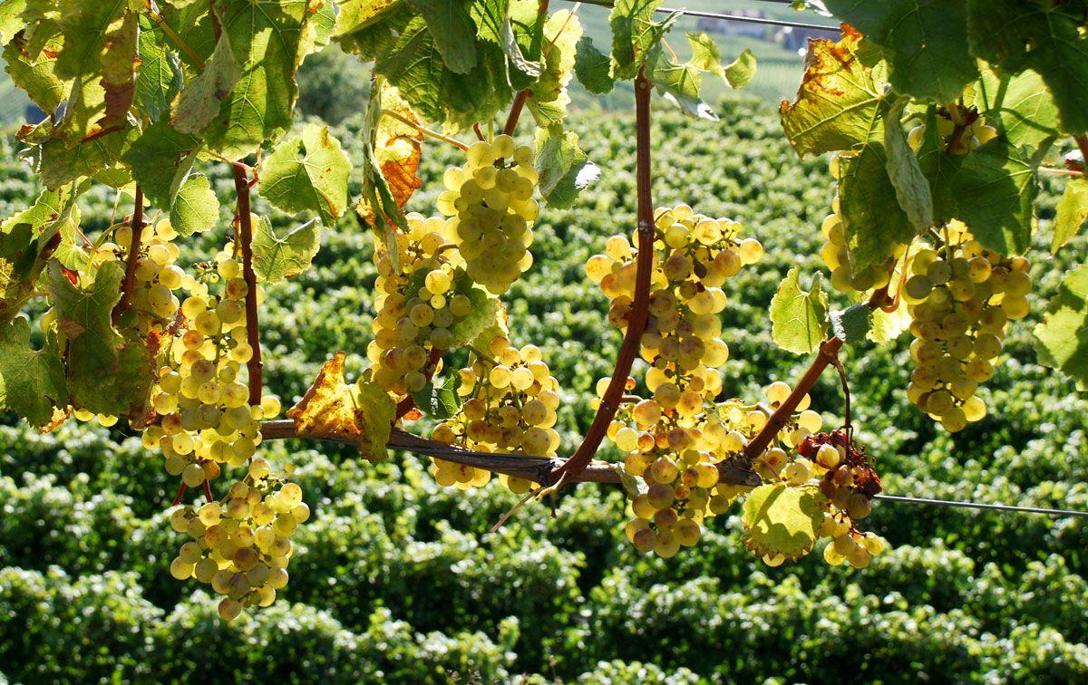 Weinfeste Im Herbst Kaiserstuhl Riesling Trauben