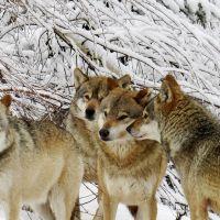 Alternativer Wolf Und Baerenpark Schwarzwald Wolfsrudel