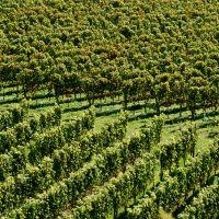 Badische Weinstrasse Kaiserstuhl Rebenmeer